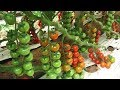 कसरी गर्ने गोलभेडा खेति ? सम्पुर्ण जानकारीका लागि II Tomato Farming II Krishi Dabali 21