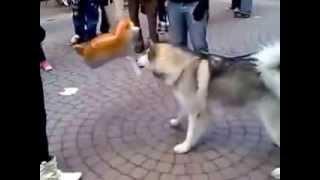 Смешное видео о животных  Пес проганяет игрушечного кота