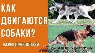 как двигаются собаки? Виды аллюра собак