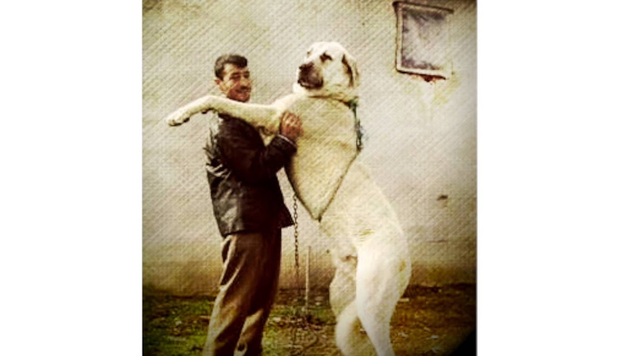 Anatolian Shepherd Dog 1 | Dog Breeds Picture