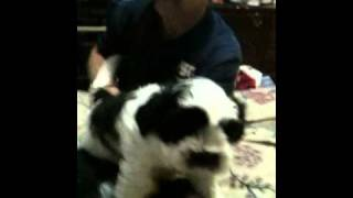 Schnauzer/shitzu Designer Cross Breed Puppies 8 Weeks Old