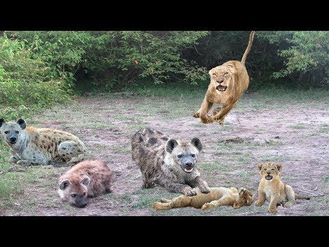 The King Lion movie real life! Hyena destroy Lion cub ,Mother Lion save cub escape from Hyena