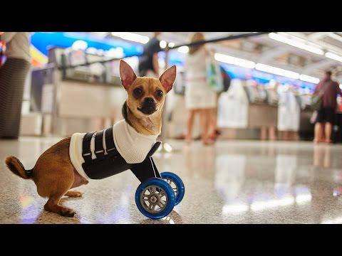 The Adventures Of Southwest And TurboRoo,  The Two-Legged Wonder Dog!
