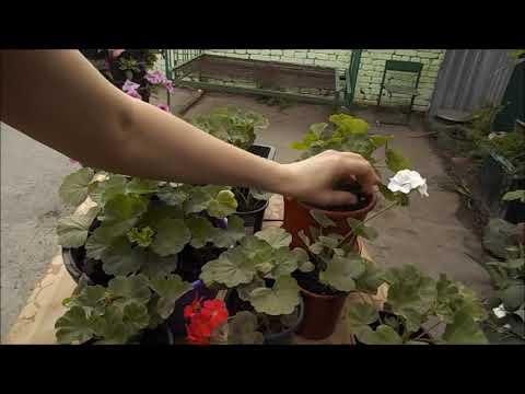 Чем подкормить пеларгонию для пышного цветения
