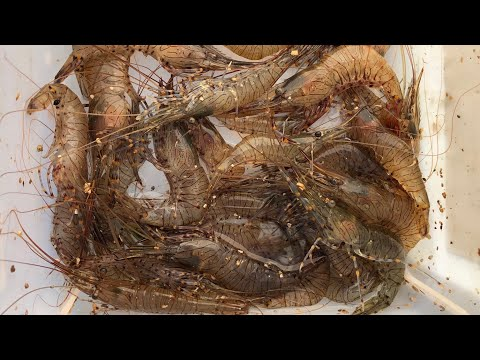 How to catch/collect live prawns  My best bass bait