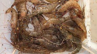How to catch/collect live prawns - My best bass bait