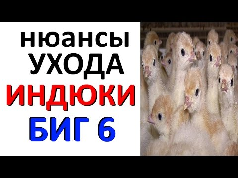 Индюшата БИГ6 / уход / содержание / кормление / индюки тяжелый кросс БИГ-6