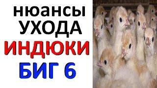 Индюшата БИГ6 / уход / содержание / кормление / индюки тяжелый кросс БИГ-6(, 2015-05-14T09:51:25.000Z)