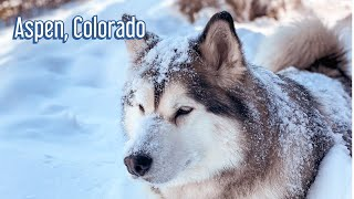 Alaskan Malamute get emotional seeing snow in Aspen, Colorado
