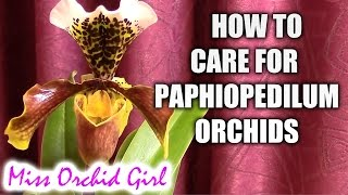 How to care for Paphiopedilum orchids - watering, fertilizing, reblooming