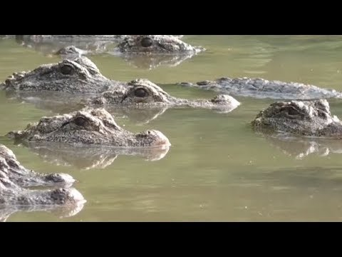 China to Release Six Captive Yangtze Alligators to Wild
