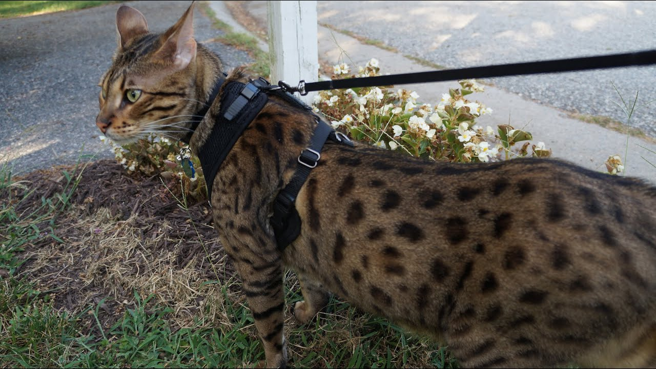 Large cat walking on a leash - YouTube