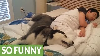 Husky tries waking owner, ends up snuggling him