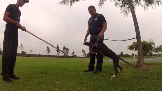 French Ring And Protection Training Pit Bull - Part 3 | Sandlot K9 Services