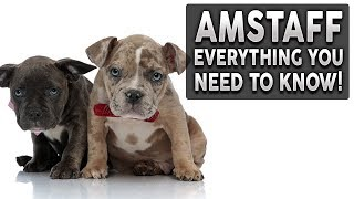AMERICAN STAFFORDSHIRE TERRIER 101! Everything You Need To Know About Owning a AMSTAFF Puppy