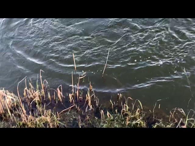 Ihmsen - Der Forellengott Forellensee Rosenweiher Lachsforellen auf Karpfenrig😱