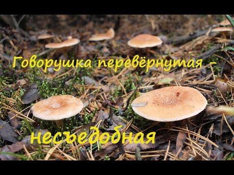 Говорушка перевёрнутая - несъедобный  гриб.