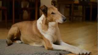 Smooth collies evening at home