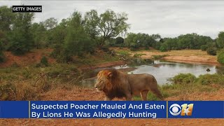 Suspected Poacher Eaten By Lions He Was Illegally Hunting
