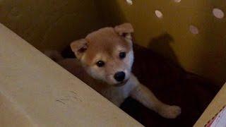 柴犬の子犬の男の子、名前はこてつです。よろしくお願いします。 H27.1...