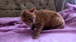 Приступ у кошки после наркоза.