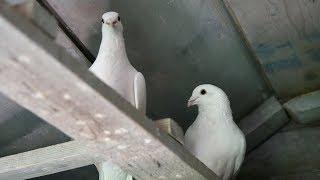 Как завести голубей.Выбор первой породы голубей.