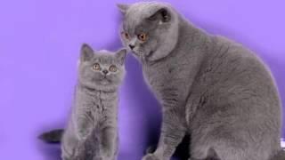 Британцы коты и котята от РУССКАЯ ПРИРОДА