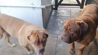 The most useless guard dogs in the world  Dogue de Bordeaux scared of builders lorry