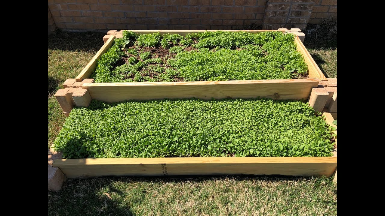 Growing Arugula Microgreens Outdoors Youtube