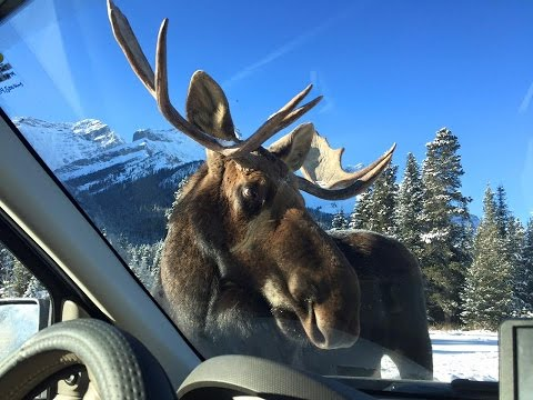 Moose licks car - Close encounter - Alberta Canada