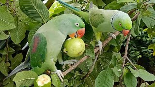 Indian Ringneck Parrot Talking And Eating Guava On Tree