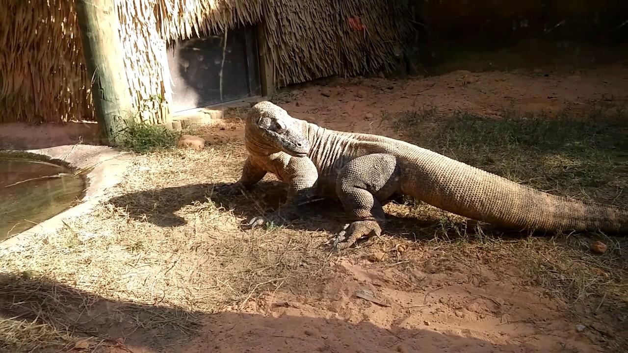 Baby komodo dragons | Komodo dragon, Rare animals, Komodo |Cute Baby Komodo Dragons