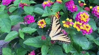 My Garden Lantanas, 2016.