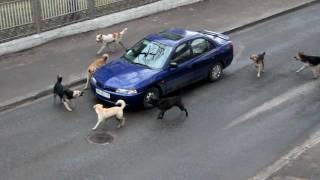 Attack of dogs. Реинкарнированные Гаишники