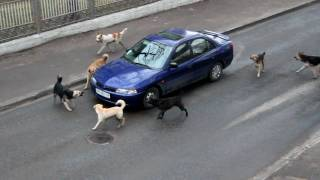 Attack of dogs. Реинкарниров...
