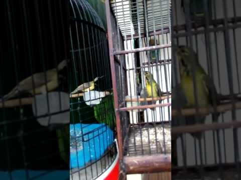 Sogok Ontong VS Kolibri Kelapa joget sambil ngobra