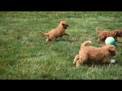 Mini Goldendoodle Puppies For Sale!
