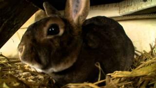 Video: algemene weetjes over het konijn
