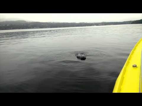 Humpback Whale 'Yogi' in Saanich Inlet