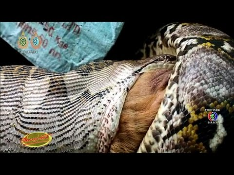 เรื่องเล่าเช้านี้ ผงะ งูเหลือมยักษ์เข้าบ้านรัดสุนัขตัวใหญ่จนตาย ก่อนอ้าปากกว้างเขมือบสยอง