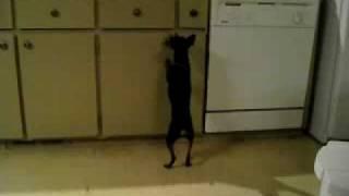 Miniature Pinscher Walking On Back Legs, Cute!