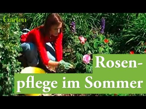 gartentipp rosen pflegen im sommer youtube. Black Bedroom Furniture Sets. Home Design Ideas