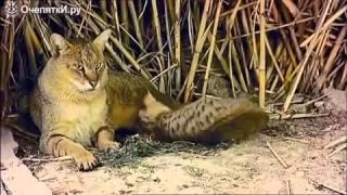видео Камышовый кот (Felis chaus) 12 фото