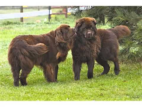 Newfoundland Dog Breed | Collcetion Of Pictures Of Breed Newfoundland Dogs