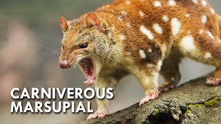 Quoll: The Polka Dotted Predator