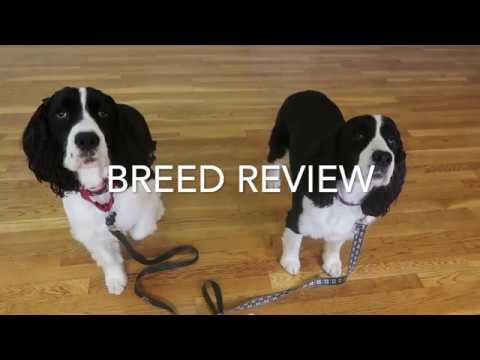 English Springer Spaniel Review