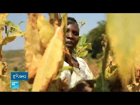 ملاوي.. أطفال يتعرضون لأمراض خطيرة بسبب زراعة التبغ  - نشر قبل 8 ساعة