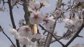 Evitamala.. AKU RINDU...Sakura Drops