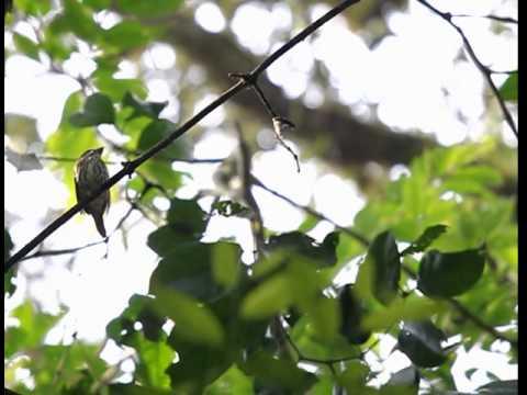 African Broadbill display