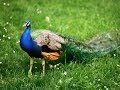 Beautiful Rare Peacock images,Peacock Pictures,Peacock Photos,Peacock Wallpapers Video